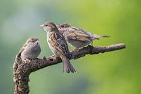 Haussperling Weibchen und Jungvögel auf einem Ast / Passer domesticus