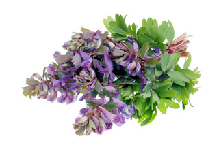 Bouquet from gentle  first forest springs purple violet  flowers lie on table isolated macro