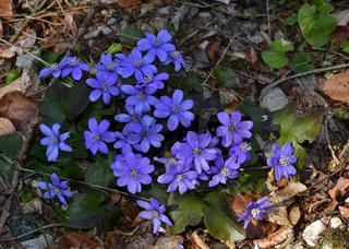 Leberbluemchen, Hepatica nobilis,