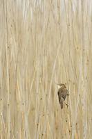 Orientierung im Schilfwald... Schilfrohrsänger *Acrocephalus schoenobaenus* im typischen Lebensraum, Schilfgürtel