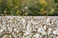 cotton field and forest in fall colors