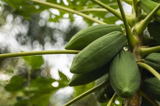 Fresh papaya tree with bunch of fruits. Papaya tree and bunch of fruits. Green papaya fruit on the tree. Agriculture fruits in organic farm on morning light. Agricultural background.