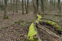 ursprünglicher Laubmischwald... Hambacher Forst *Nordrhein-Westfalen*