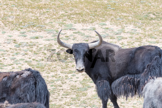 wild yak in qinghai nature reserve