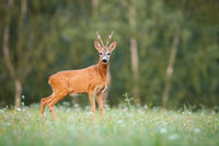 Surprised roe deer buck looking to camera on a meadow in summer at sunset
