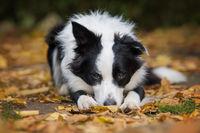 Junger Border Collie liegt im Herbstlaub