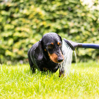 Dachshund takes a shower outside in nature