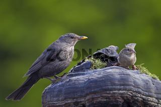 Amsel und Haussperling / Turdus merula / Passer domesticus