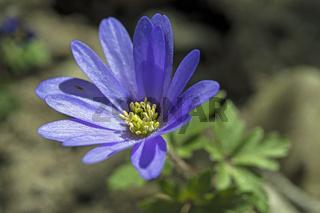 Blaues Windröschen  'Anemone apennina'