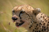 Close-up of cheetah head with blood-stained mouth