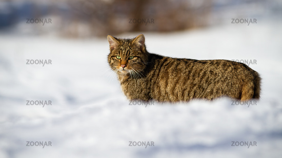 A cute european wildcat observing the snowy landscape