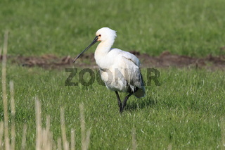 Eurasian or common spoonbill in nature Island Texel,Holland