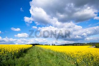 rape field spring background