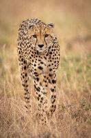 Cheetah walks towards camera in long grass