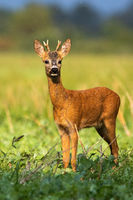 Young roe deer buck sunkissed in the rainy weather in sunny evening in summer