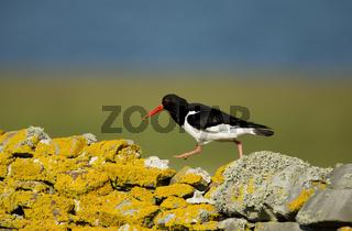 Eurasian oystercatcher walking on a stone fence