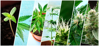 Cannabis collage. Many photos of various stages of growing marijuana plants at home, in chronological order