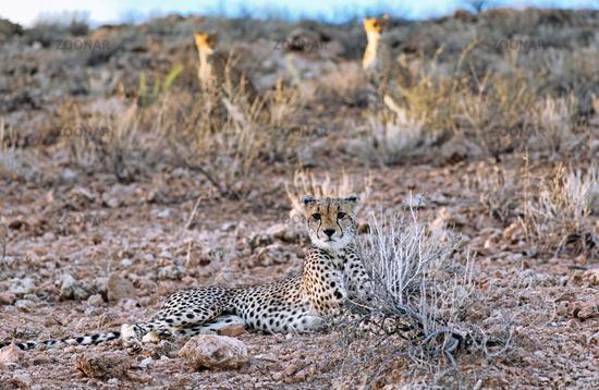 Gepard, Kgalagadi-Transfrontier-Nationalpark, Südafrika, (Acinonyx jubatus)   Cheetah, Kgalagadi Transfrontier National Park, South Africa, (Acinonyx jubatus)