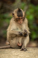 Baby long-tailed macaque grooms foot on wall