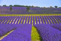 Hügellandschaft mit Lavendelfeld und Bäumen