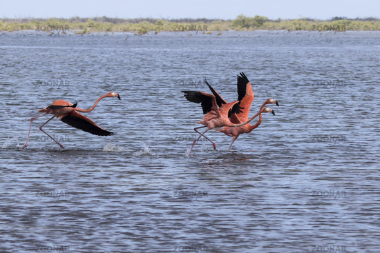 group of American flamingo that take off from the shallow water of the lagoon in the mangrove forest of the Zapata Peninsula