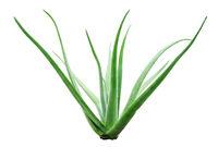 Aloe vera plant isolated