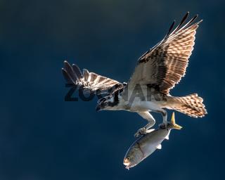 Osprey in Flight With Catch VI