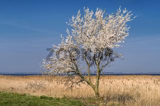 Bluehender Baum an der Neuendorfer Wiek