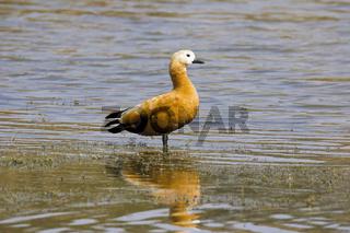 Ruddy Shelduck Tadorna ferrigunea, Brahminy Duck. Chambal river, Rajasthan, India