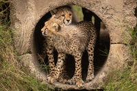 Cheetah cub rests on another in pipe