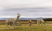 Alpacas, Vicugna pacos, in the beautiful landscape of Lista, Norway.