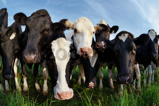 cows on pasture looking close up