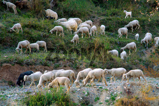 Grazing sheep and goat in valleys of Pre-Himalayas