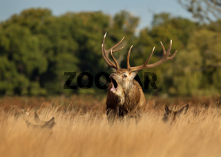 Red Deer stag bellowing during the rut