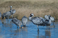 Common crane (Grus grus) cleaning its plumage in a lagoon. Gallocanta Lagoon Natural Reserve. Aragon. Spain.