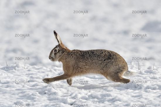 ab durch den Schnee... Feldhase * Lepus europaeus * läuft über eine schneebedeckte Weide