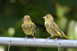 Junge Gruenfinken