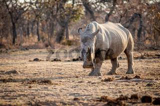 White rhino standing in the grass.
