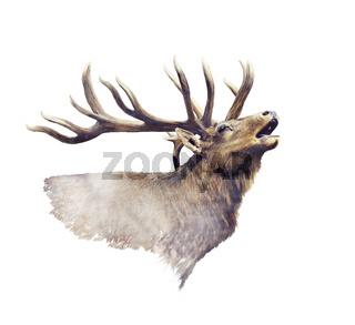 Bull Elk watercolor