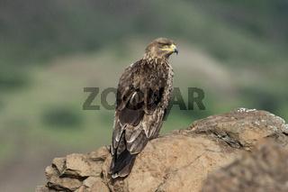 Tawny eagle, Aquila rapax, Saswad, Maharashtra, India