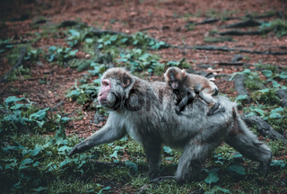 Baby macaque and his caring mother in the nature on a summer day
