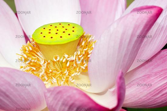 Lotusblüte im Sonnenlicht