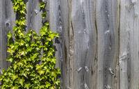 Efeu und Holzzaun