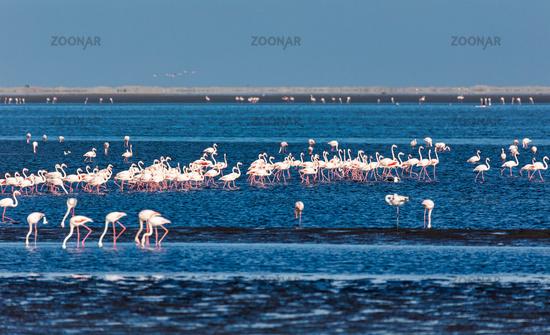 Rosy Flamingo colony in Walvis Bay Namibia, Africa wildlife