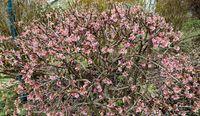 Rosa blühender Zierstrauch im Frühling