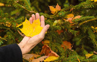The hand of an elderly woman holding in the palm of an autumn yellow leaf on autumn backgound.Falling yellow leaves.Autumn concept.