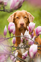Dog with magnolia blossoms