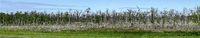 Wald mit abgebrochenen Birken im Nationalpark Vorpommersche Boddenlandschaft bei Zingst