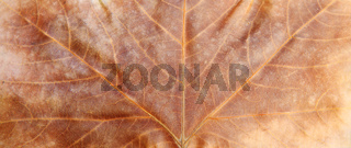 Close up on maple autumn leaf . Abstract nature background.