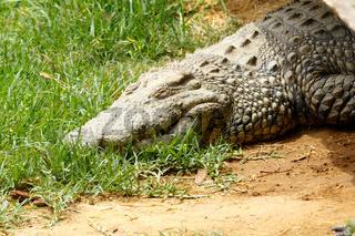 Lazy Crocodile sleeping on the grass